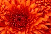 Image representing the service provider: Chrysanthemum (03-04-2013_1055)
