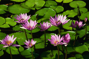 Image representing the service provider: Water lilies (24-02-2014_1120)