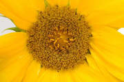Image representing the resource page: sunflower