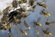 Image representing the service provider: Wasps (22-06-2015_1111)