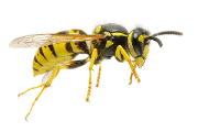 Image representing the service provider: bee-wasp-removal-exterminator-nj2 (25-07-2017_1512)